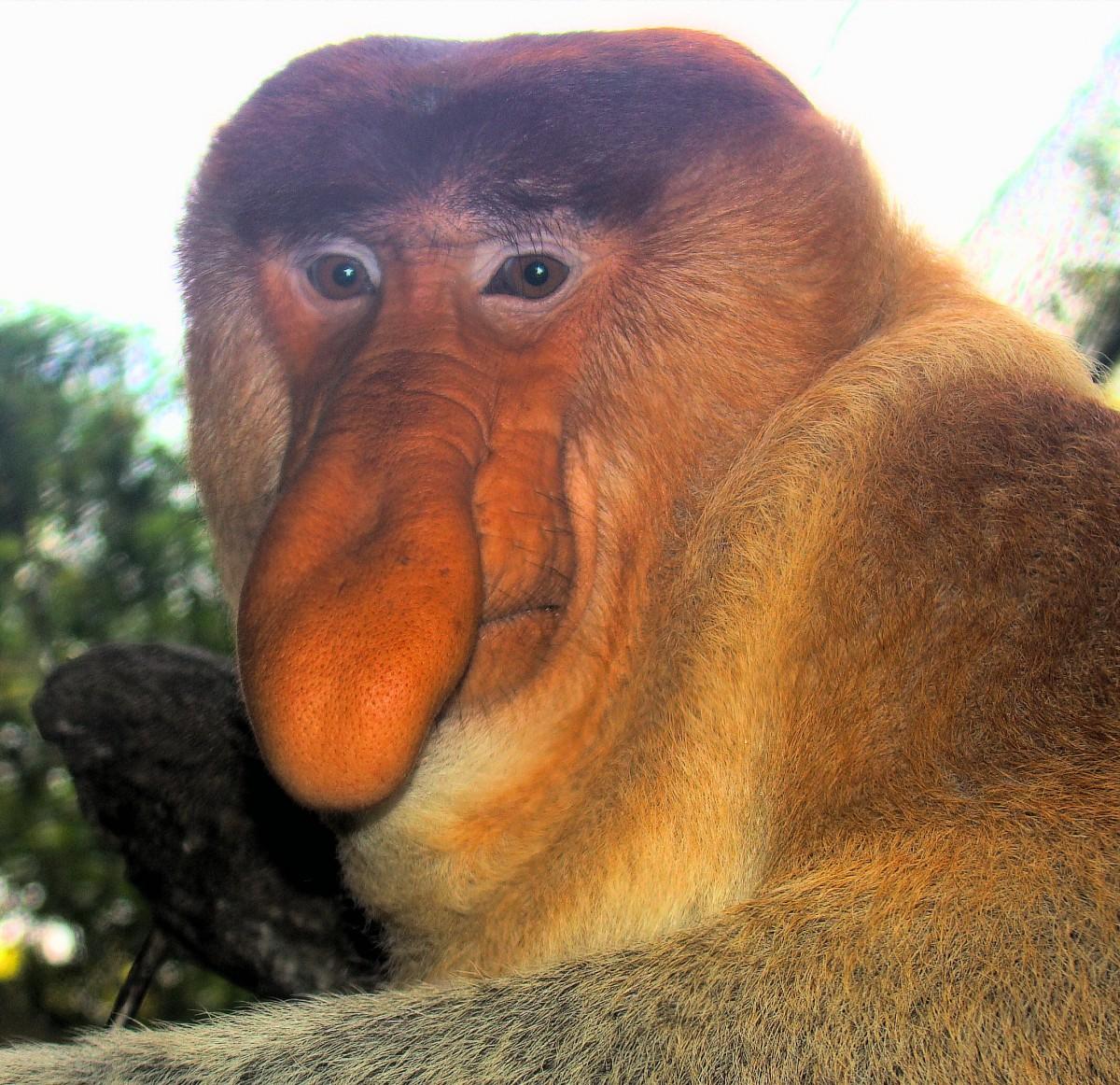 Monyet Belanda Mati Misterius
