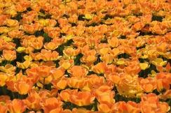 tulips-10296_1280