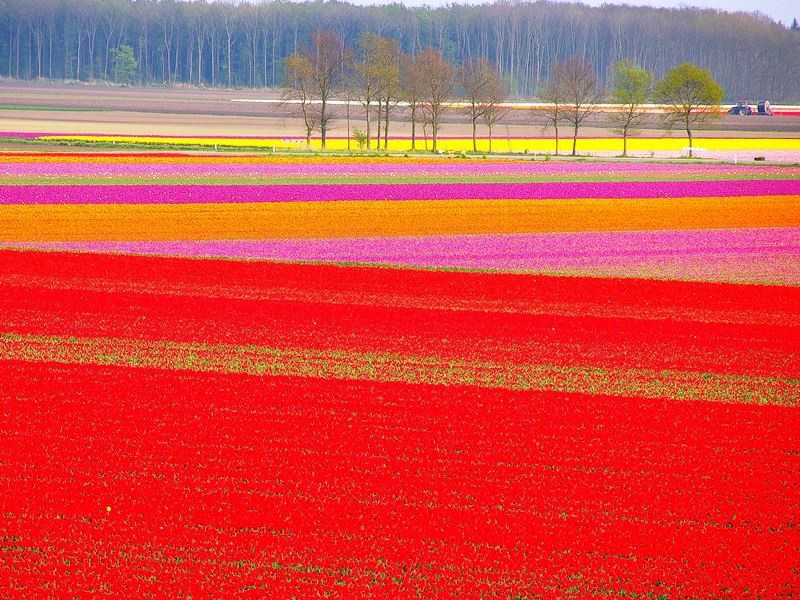 Ladang Tulip, Wisata Belanda, One day Tour Belanda, Lihat Ladang Tulip, Lamparan bunga Tulip Warna Warni