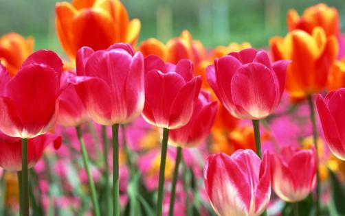 Bunga Tulip Khas Belanda, Tulip dari Turki, Indahnya Bunga Belanda