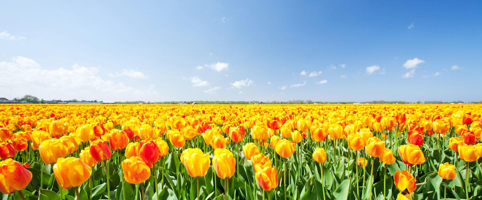 Bunga Tulip yang cantik dan indah. Serbalanda Eka Tanjung wisata Belanda