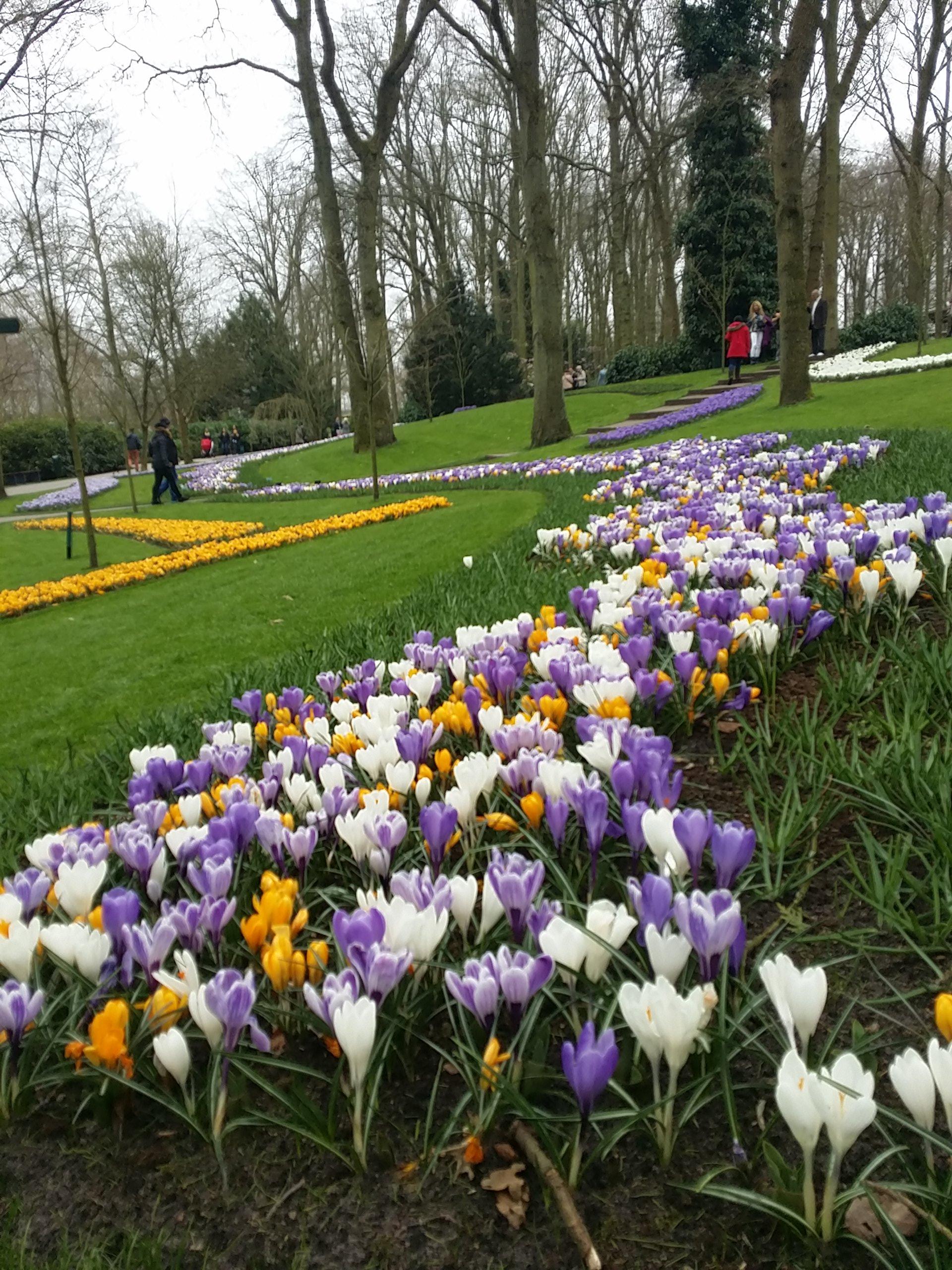 Keukenhof, Taman Bunga Tulip di Belanda, Bunga yang Indah, Bunga yang berasal dari Turki, Pemandu Wisata Orang Indonesia, Serbalanda, Serbalanda Tour, Serba Belanda