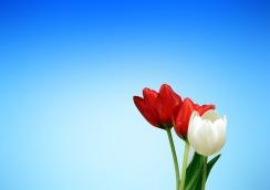 tulips-65036_1280
