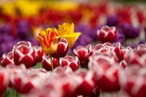 tulips-65305_1280