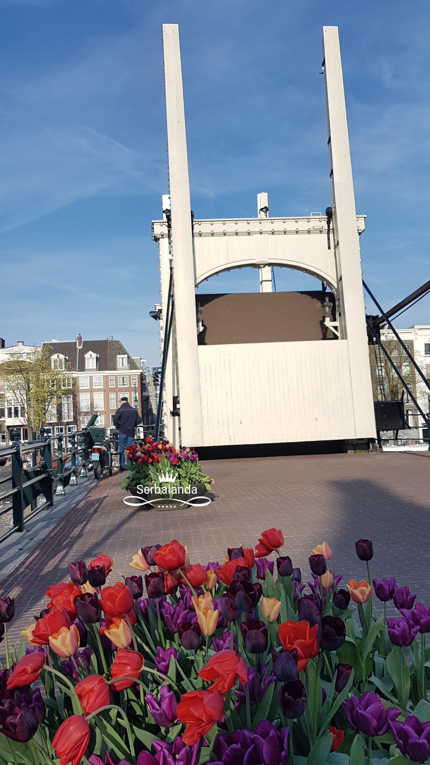 Bunga Tulip, Jembatan Kayu, Spot Amsterdam, Skinny Bridge