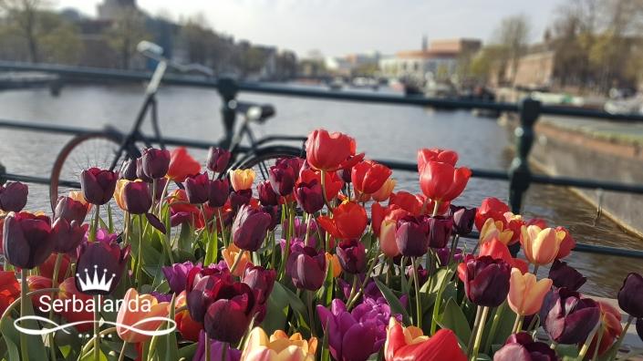 Bunga Tulip di Jembatan Kayu Magere Brug, Skinny Bridge
