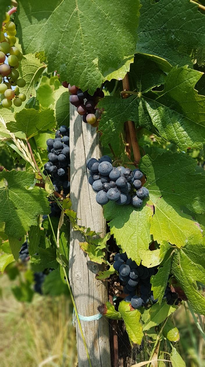 Pohon Anggur di Eropa, Memetik Anggur, Buah Anggur.