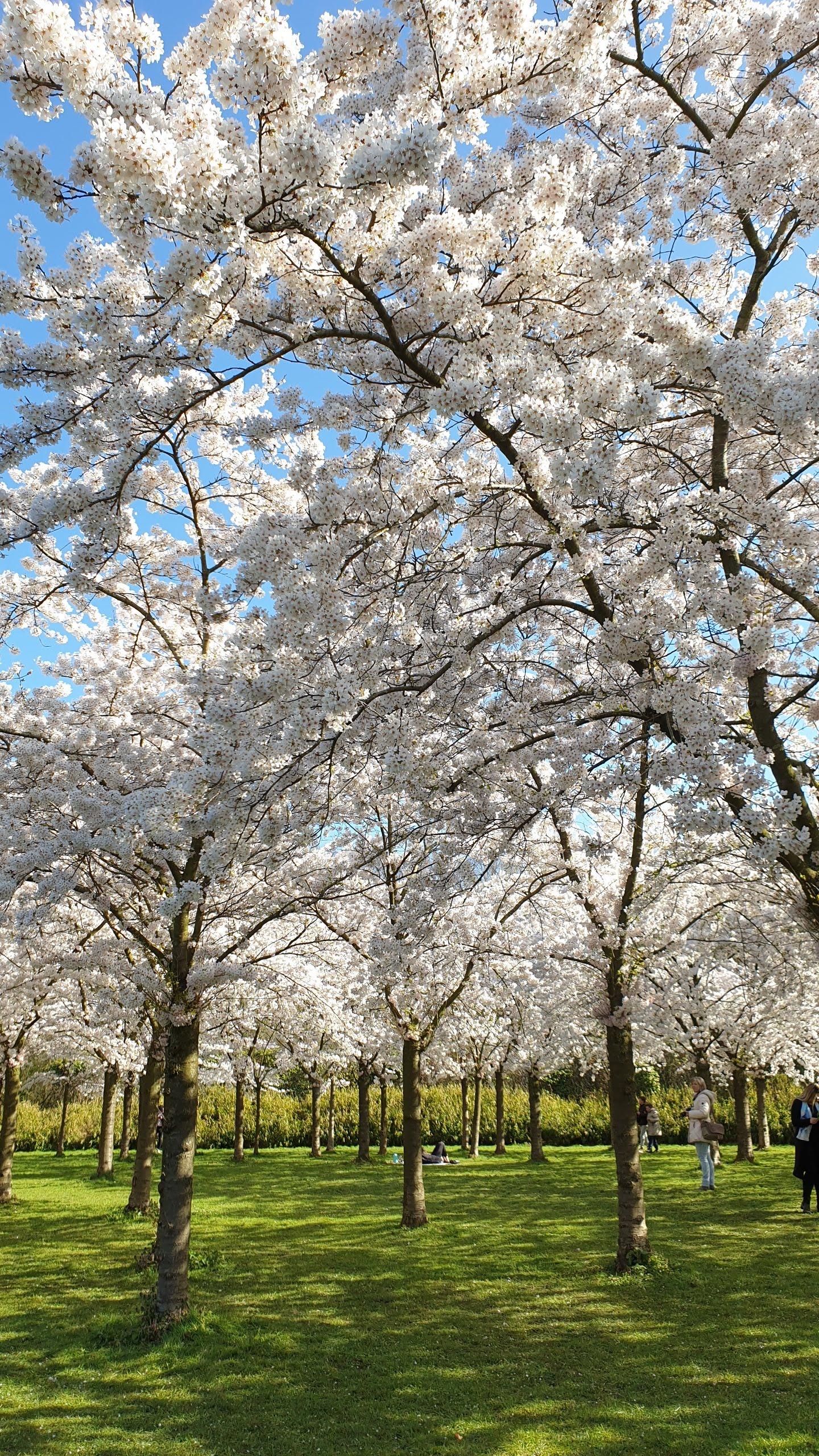 Taman Sakura di Belanda. Menarik dikunjungi Gratis tanpa ada karcis masuk. Sebaiknya naik mobil dan disambung dengan sepeda. Bunga Jepang yang Cantik